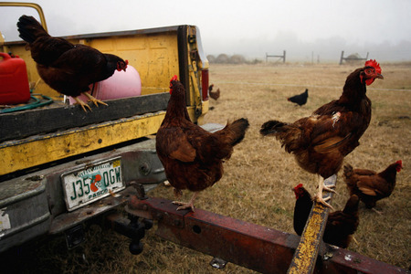 Laying hens stand on and around Dennis Stoltzfoos' yellow pickup truck after the hens were let out of their egg mobile on Stoltzfoos' organic farm near Mayo, Fla.